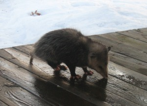 possum cropped