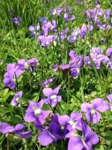 violets up close